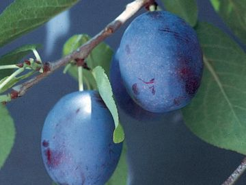 Earliblue Prune-Plum