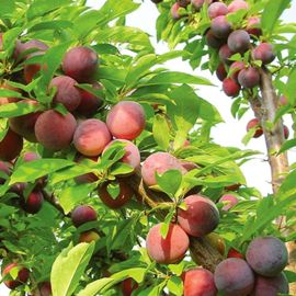 Methley Plum