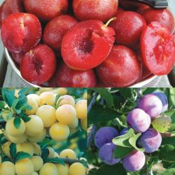 Heirloom Plum Tree Collection