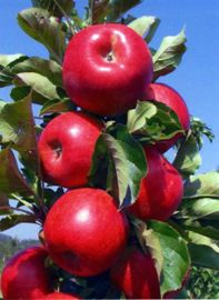 Photo of Tasty Red™ Urban™ Apple