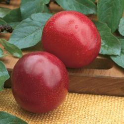 Photo of Santa Rosa Plum