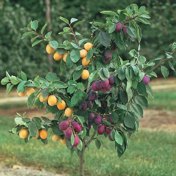 Superb Multiple Grafted Fruit Trees Part - 1: Stark Brou0027s