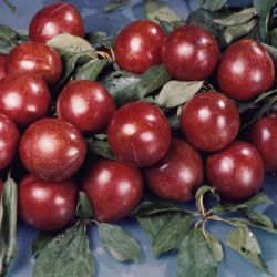 Photo of Superior Plum