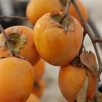 Asian Persimmon Trees