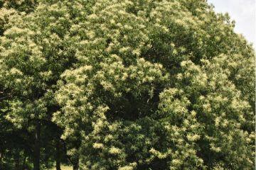 How to Grow Chestnut Trees Stark Bros