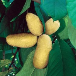 Photo of Mango Pawpaw