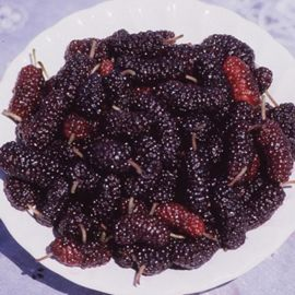 Pakistan Mulberry