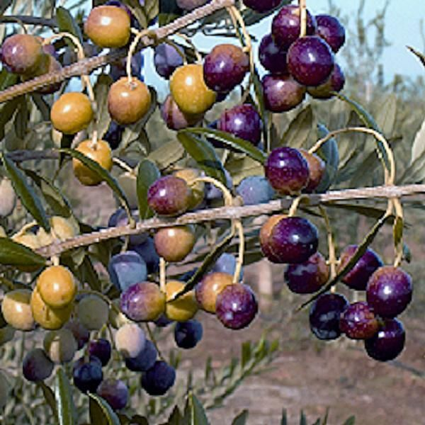 Arbequina Olive Potted Kit Olive Trees Stark Bros