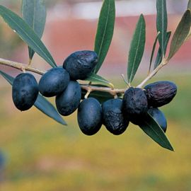 Arbequina Olive Potted Kit