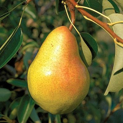 Photo of Bartlett Pear
