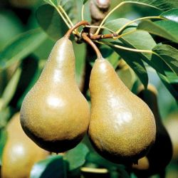 Photo of Beurre Bosc Pear
