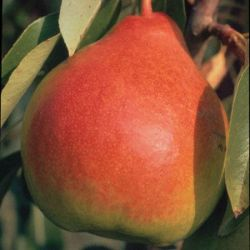 Photo of Moonglow Pear