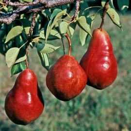 Red Sensation Pear