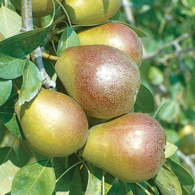 Photo of Seckel Pear