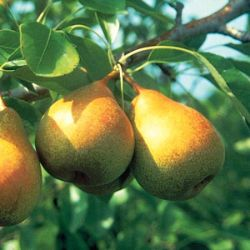 Stark® Honeysweet Pear