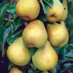 Photo of Starking® Delicious™ Pear