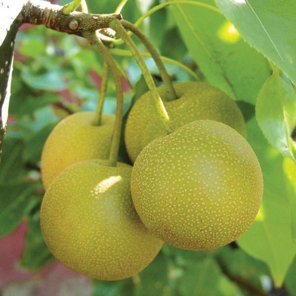 Grafting multiple varieties of asian pear