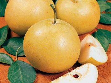 Starking® Hardy Giant™ Asian Pear