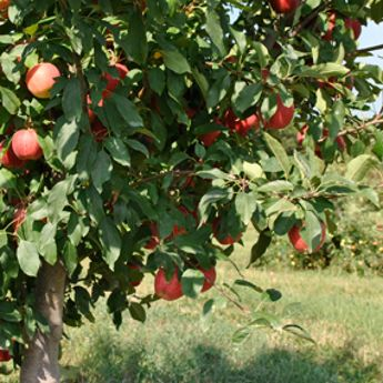 Fruit Tree Assortments