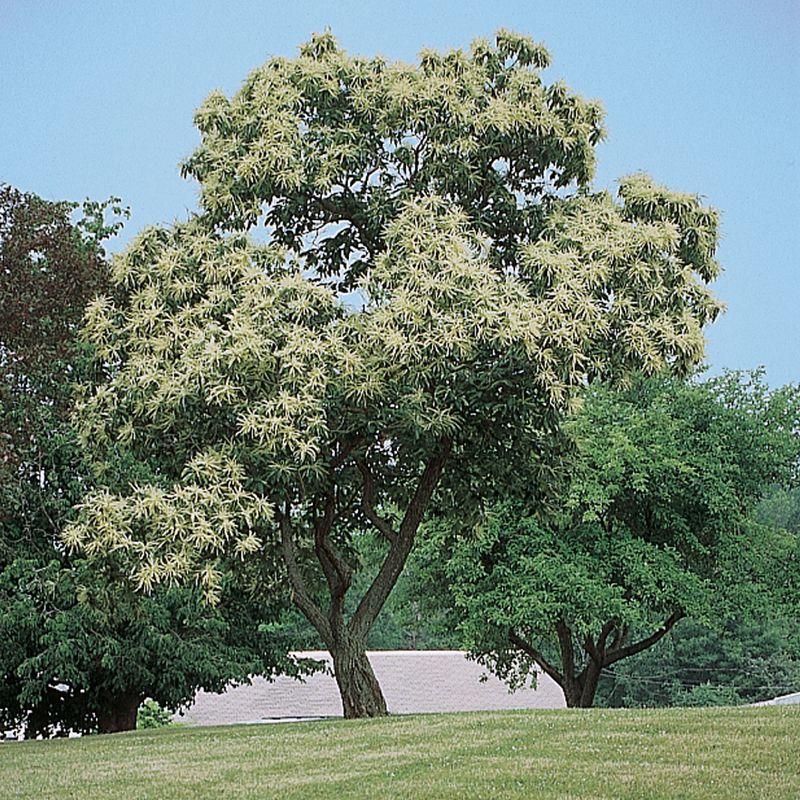 Chinese Chestnut Chestnut Trees Stark Bro S