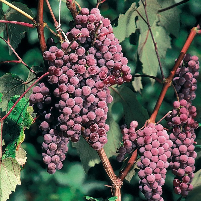 Canadice seedless grape grape vines stark bro 39 s for Table grapes zone 6