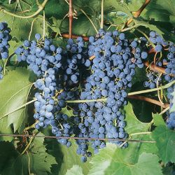 Photo of Frontenac Grape