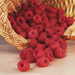 Fall Red Everbearing Raspberry