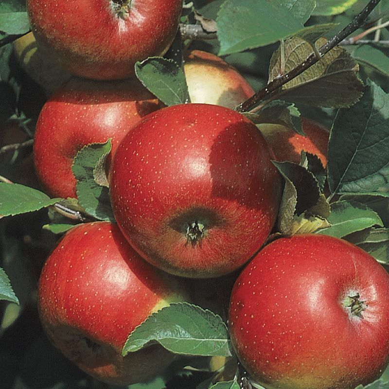 Freedom Apple Apple Trees Stark Bros