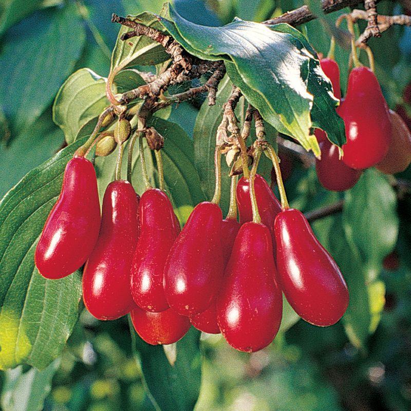 Cornelian Cherry Dogwood Dogwood Trees Stark Bro S
