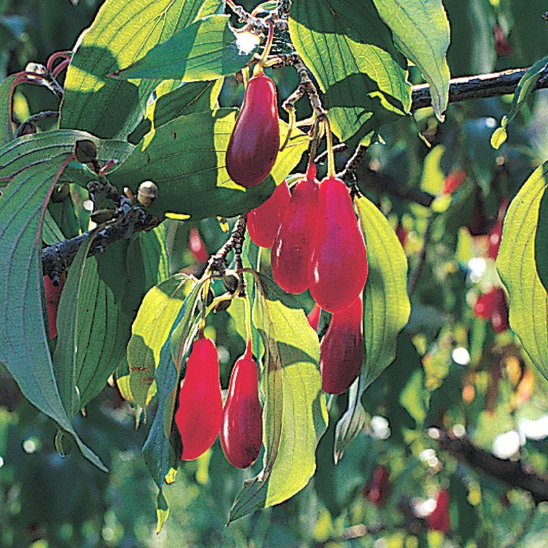 Cornelian Cherry Dogwood Dogwood Trees Stark Bros