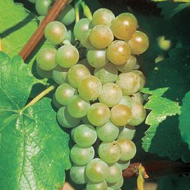 Photo of Traminette Grape