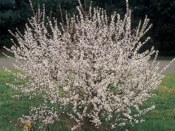 Hansen's Bush Cherry