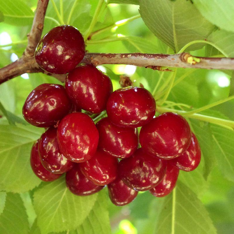 Sweet Cherry Tree Collection - Cherry Trees - Stark Bro's