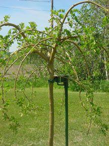 Tree Stake Tree Accessories Stark Bro S