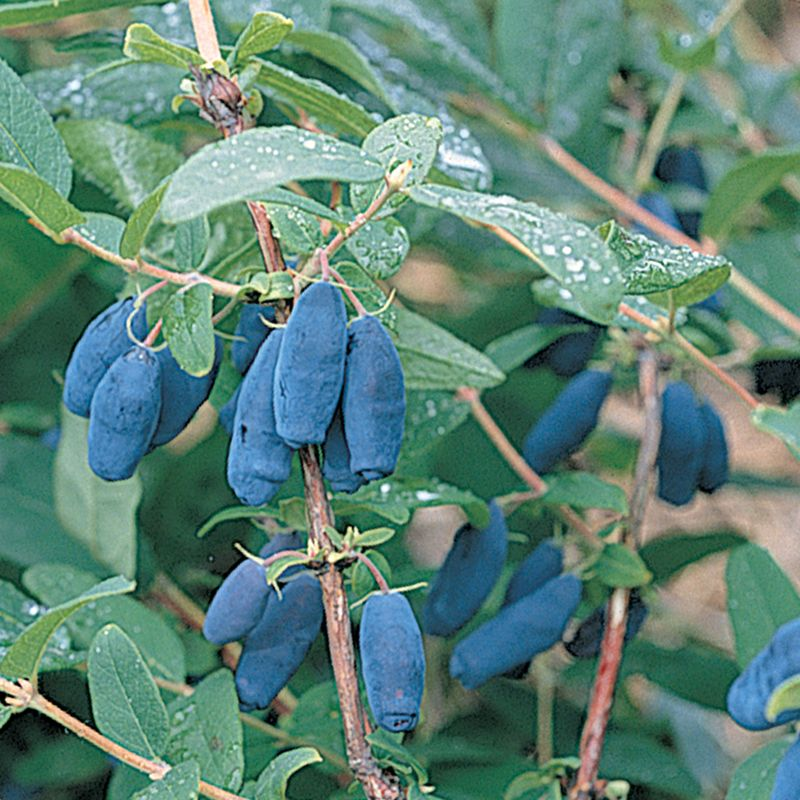 Berry Blue™ Honeyberry - Honeyberry Plants - Stark Bro's