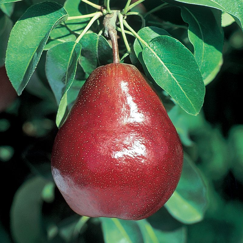 Dwarf fruit trees are perfect when space is limited. A dwarf fruit tree will mature to be about ' tall and provide an abundance of full-size fruit.