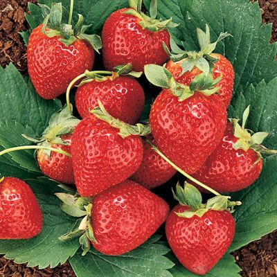 Photo of Double Play Strawberry Plant Collection