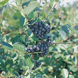 Autumn Magic Aronia Berry