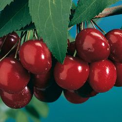 Black Tartarian Sweet Cherry