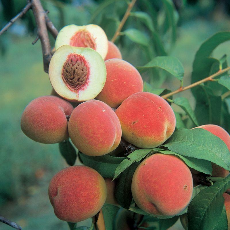 Champion White Peach - Peach Trees - Stark Bro's