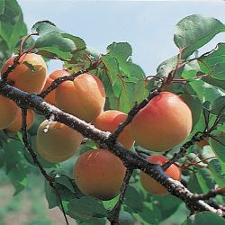Photo of Moorpark Apricot