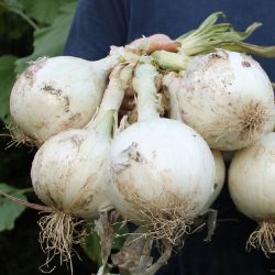 Photo of Ringmaster Onion