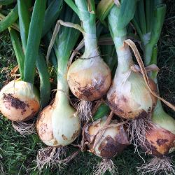 Photo of Texas Super Sweet Onion