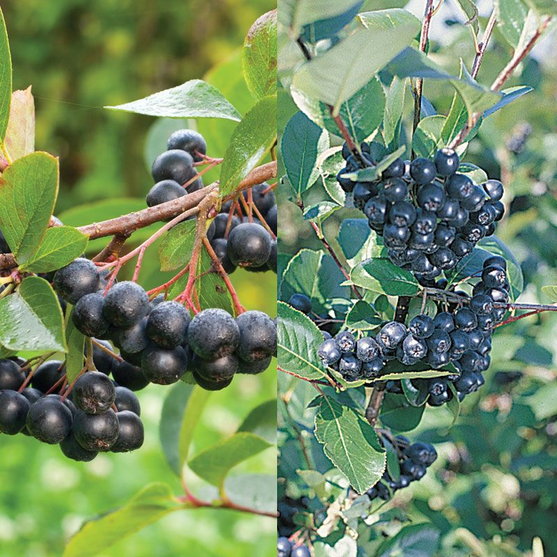 Aronia Berry Plant Collection Aronia Berry Plants