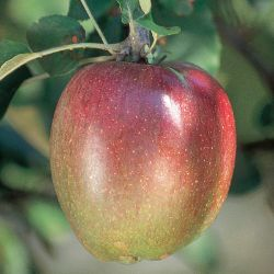 Sheepnose Apple