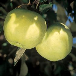 Photo of Tolman Sweet Apple