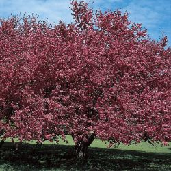 Malus Almey Flowering Crabapple