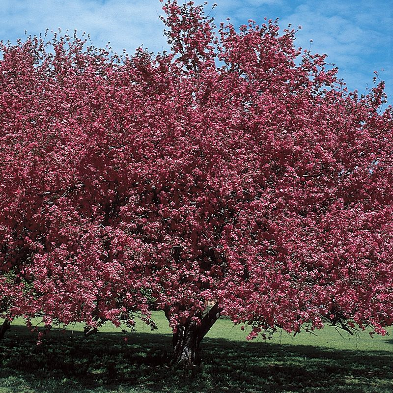 Malus almey flowering crabapple flowering trees stark for Crabapple tree