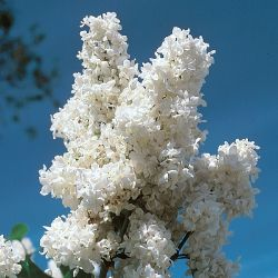 Madame Lemoine White Lilac