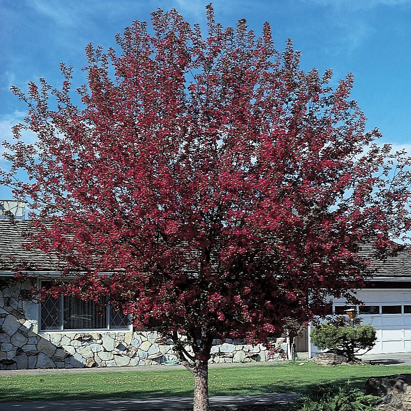 Royalty Flowering Crabapple. tree icon What tree size should I choose?
